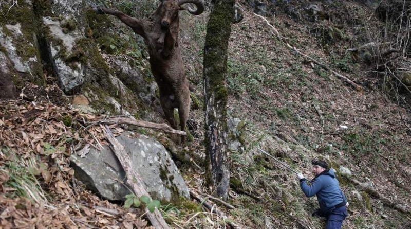 აღმოსავლეთ კავკასიური ჯიხვი ლაგოდეხის დაცული ტერიტორიებიდან